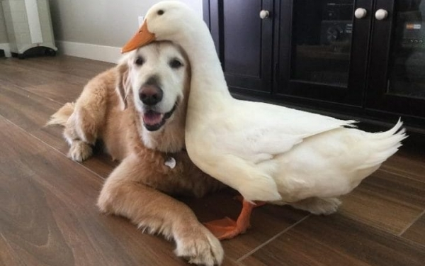 goose and dog